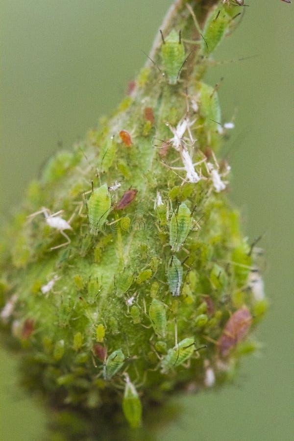 aphids foto de stock