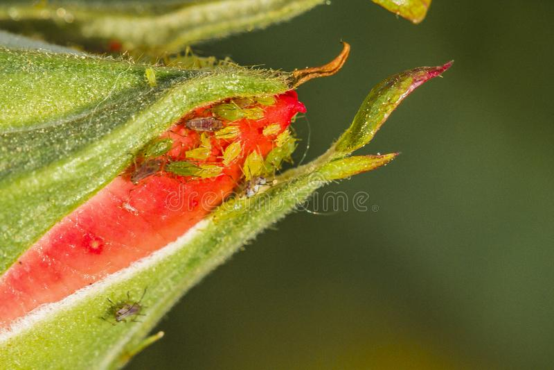aphids imagem de stock royalty free