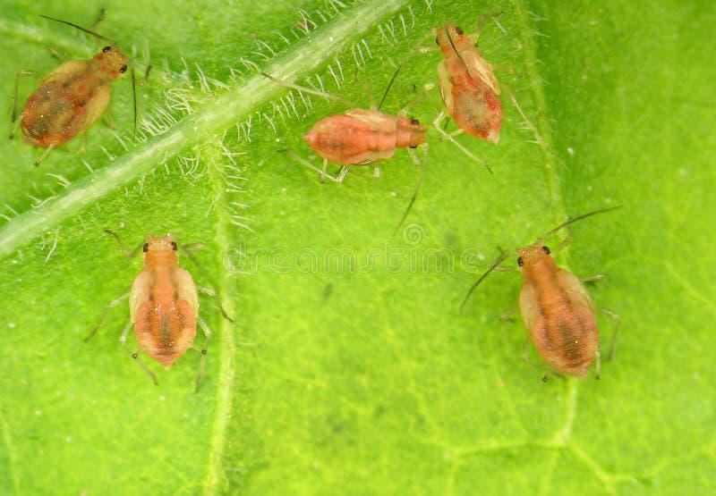 aphids fotos de stock