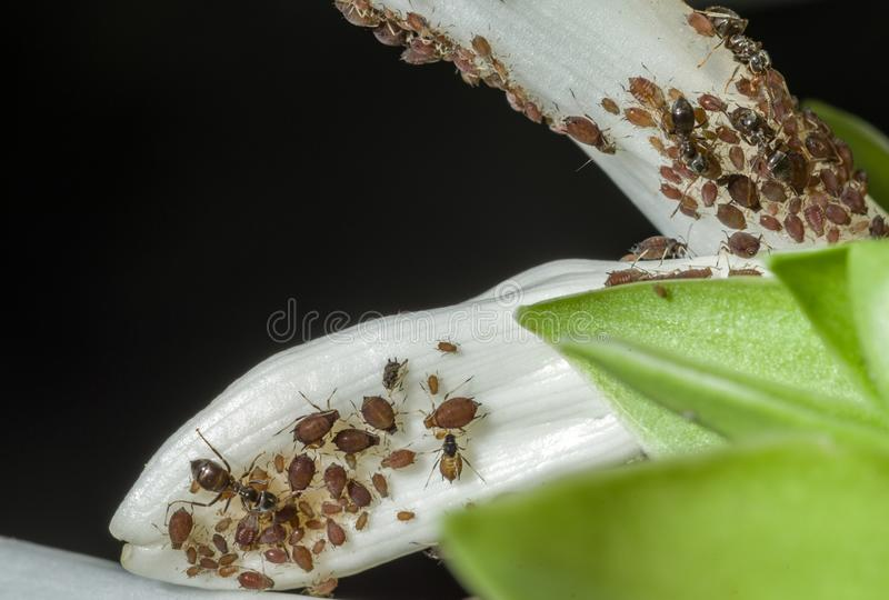 Aphids are a parasitic insect that sucks juice from plants. Ants taking care of aphids.  royalty free stock photo