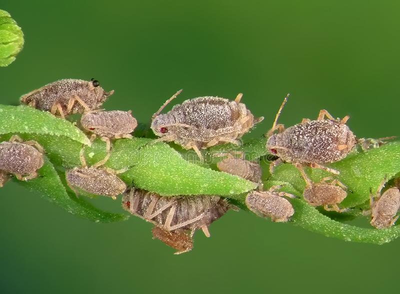 Aphids. Plant lice, greenflies, blackflies or whiteflies are among the most destructive insect pests on cultivated plants in temperate regions royalty free stock photos
