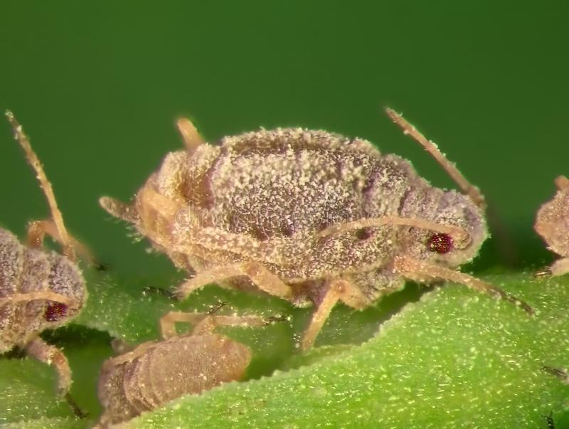 Aphids. Plant lice, greenflies, blackflies or whiteflies are among the most destructive insect pests on cultivated plants in temperate regions stock image