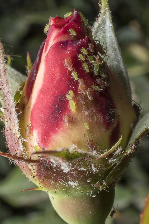 Aphids in a rosebud. Detail close up. Macro photography stock photo