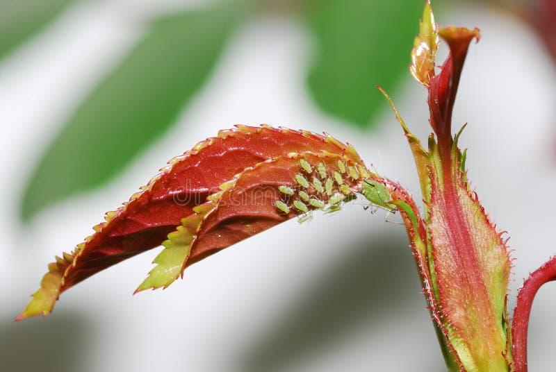 aphids steg royaltyfri foto