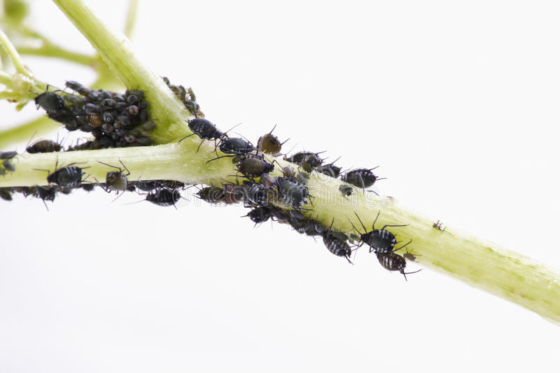 Aphids (Sternorrhyncha )on elderflower stem (Sambucus nigra) royalty free stock photo