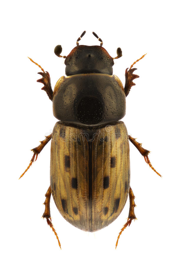 Aphodius Conspurcatus Stock Photo