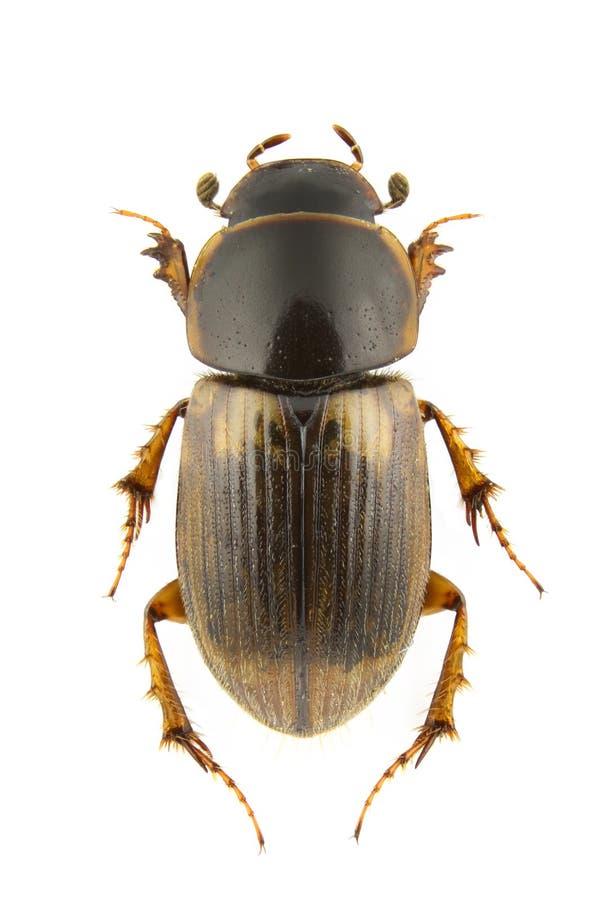 Download Aphodius prodromus stock photo. Image of dung, background - 17394322