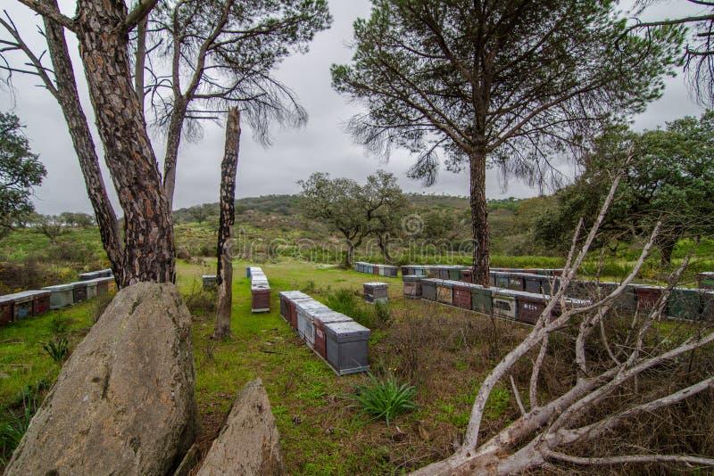 Apiário no campo com grama e pinheiros fotografia de stock