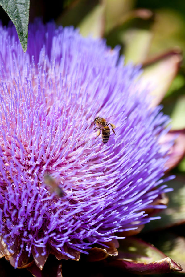 Api che riuniscono polline su un fiore del carciofo fotografia stock