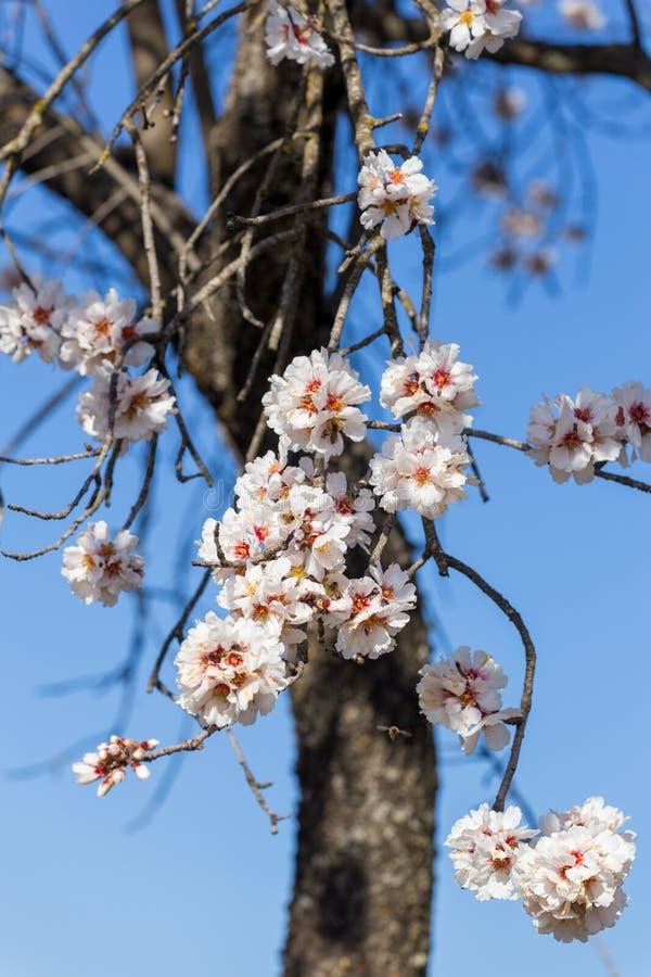 Api dei germogli di stagione primaverile del cielo blu dei fiori della mandorla fotografia stock