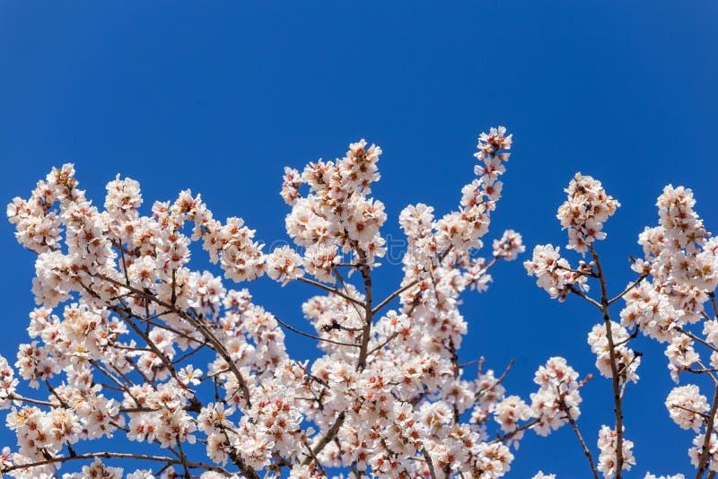 Api dei germogli di stagione primaverile del cielo blu dei fiori della mandorla fotografie stock