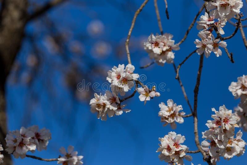 Api dei germogli di stagione primaverile del cielo blu dei fiori della mandorla fotografia stock libera da diritti