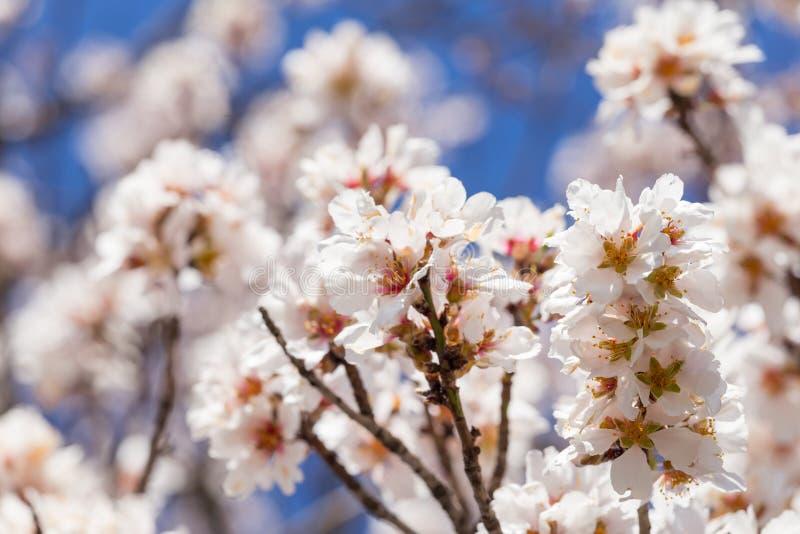 Api dei germogli di stagione primaverile del cielo blu dei fiori della mandorla fotografie stock libere da diritti