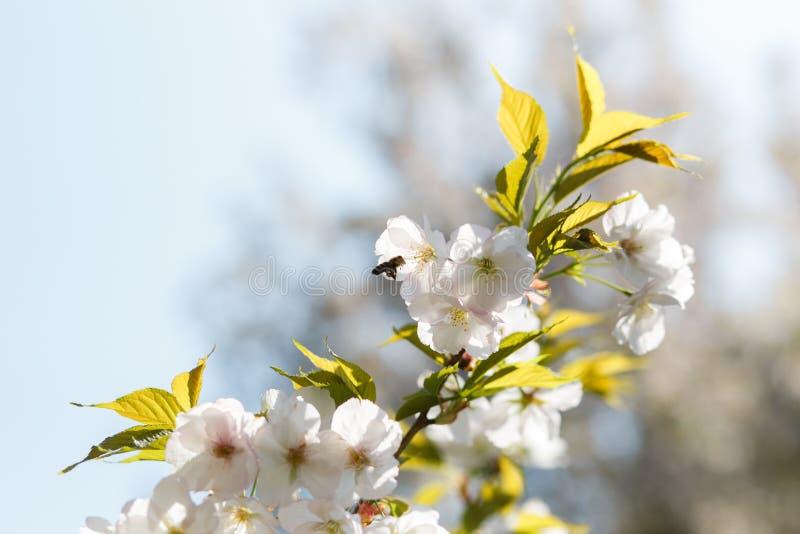Api del miele che raccolgono polline e nettare come alimento per l'intera colonia, le piante d'impollinazione ed i fiori - tempo  immagine stock libera da diritti