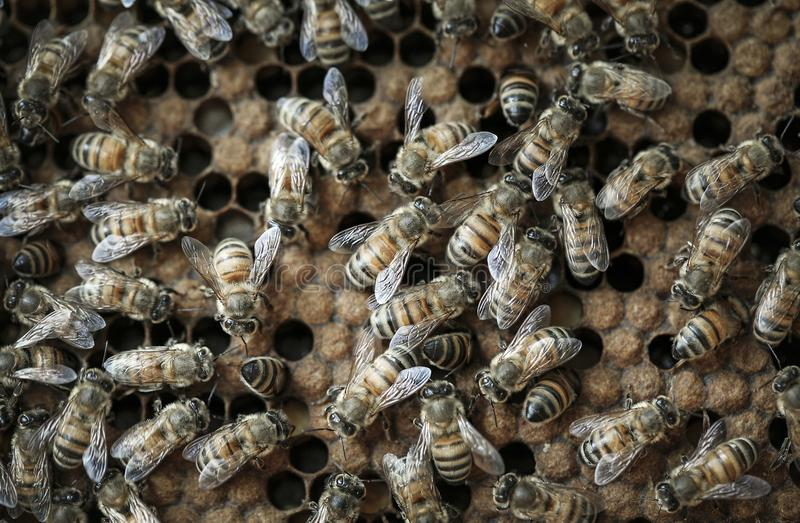 Api del miele occupate sulla vista di macro dell'alveare fotografia stock
