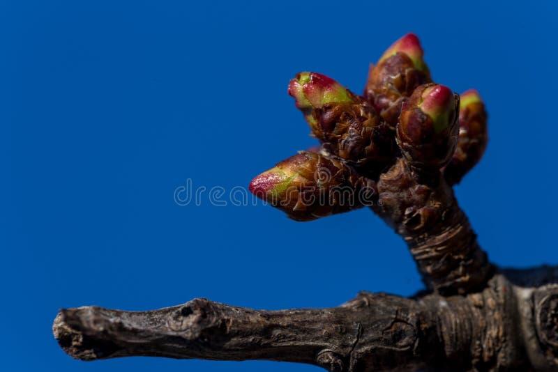 Api di stagione primaverile del cielo blu dei fiori della mandorla dei germogli della ciliegia fotografie stock libere da diritti