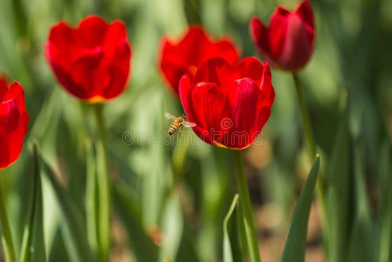 Api e tulipani immagine stock libera da diritti