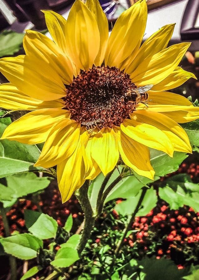 Api gialle del fiore 2 fotografia stock libera da diritti