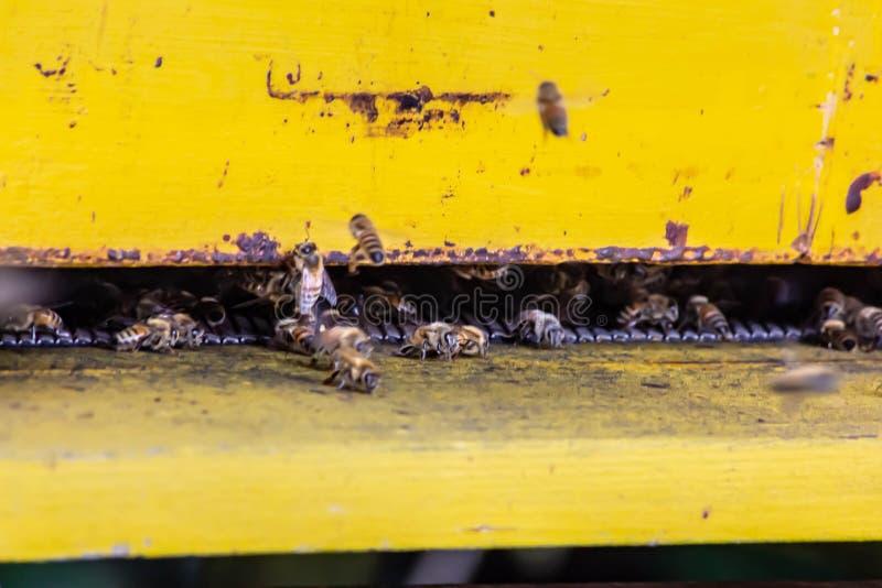 api in loro urne intente sul loro lavoro ci sono coloro che raffredda chiunque difende questi piccoli insetti sono molto importan fotografia stock libera da diritti