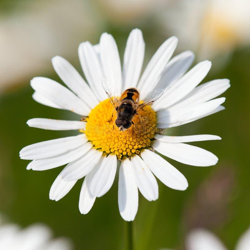 Api o api da miele di fiore bianco di margherita comune immagine stock libera da diritti