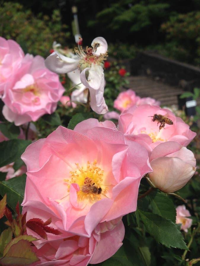 Api rosa del miele e delle rose immagine stock