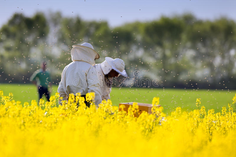 Apiarists in rapeseed field. Apiarists working in rapeseed field in springtime stock photos