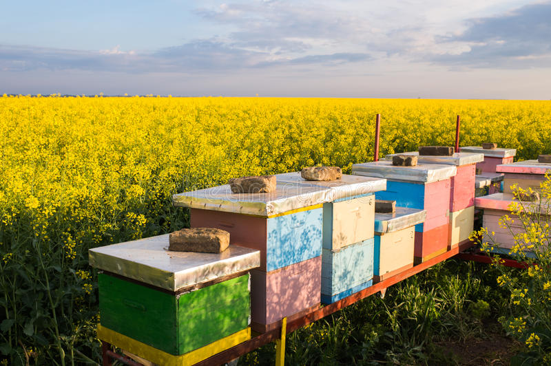 Apiary in the field. Of rapeseed stock photos
