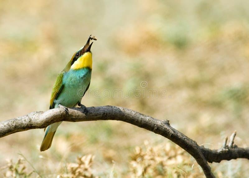 apiaster食蜂鸟欧洲merops 免版税库存照片