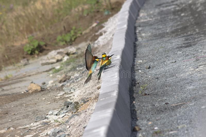 Apiaster de Merops de trois abeille-mangeurs Sur la restriction entre la route et les dunes de sable images stock