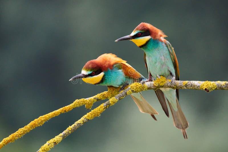 Apiaster del Merops di due bello gruccioni fotografie stock libere da diritti