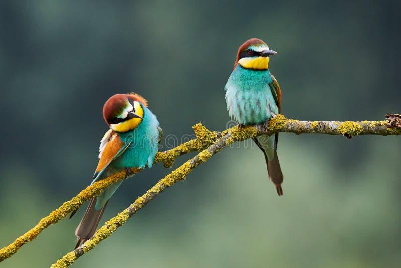 Apiaster del Merops di due bello gruccioni fotografia stock libera da diritti