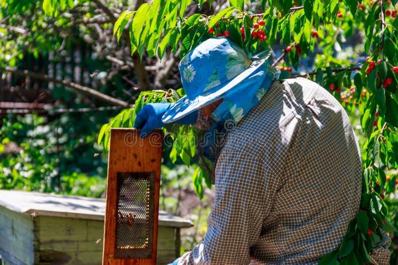 Apicoltore che controlla un alveare per assicurare salute della colonia di api o che raccoglie miele immagini stock