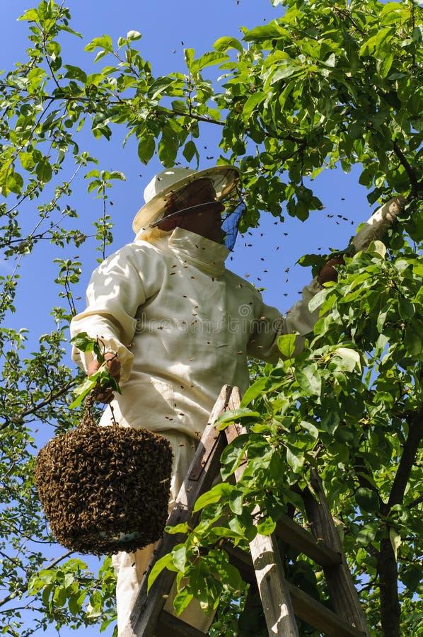 Apicoltore che tiene uno sciame dell'ape fotografia stock