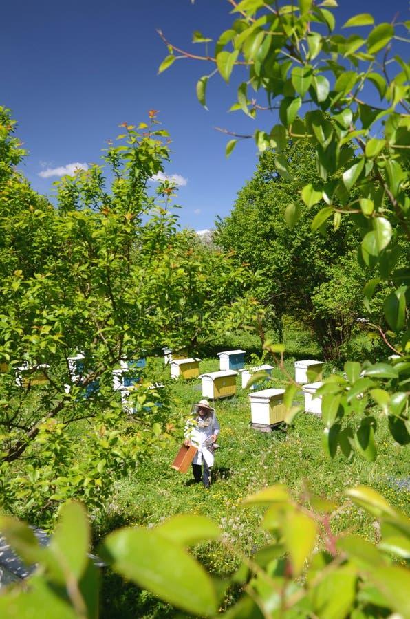 Download Apicoltore Senior Con Esperienza Che Fa Ispezione In Arnia Fotografia Stock - Immagine di experienced, beekeeping: 55365558