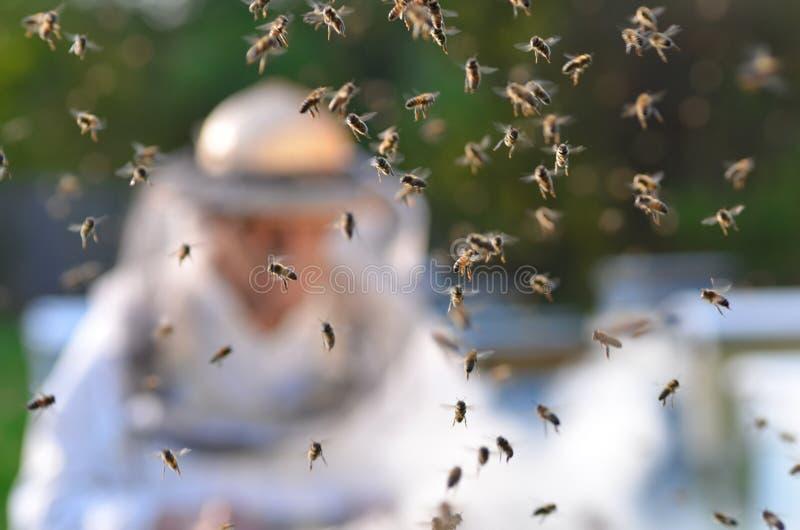 Apicoltore senior con esperienza che fa ispezione e sciame delle api immagini stock libere da diritti