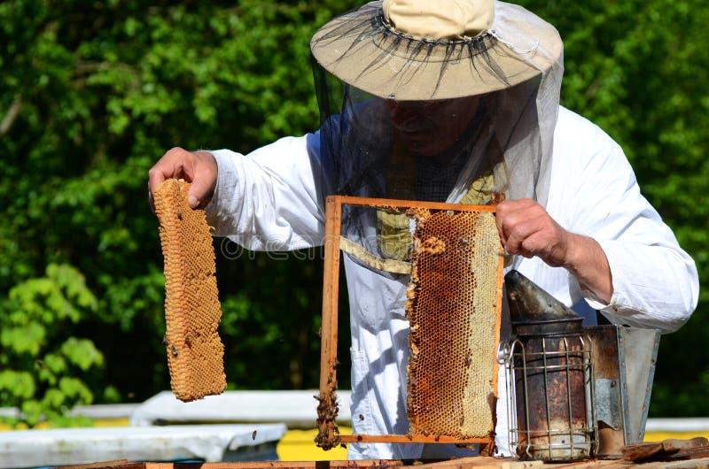 Download Apicoltore Senior Con Esperienza Che Taglia Pezzo Di Favo Della Larva In Arnia Immagine Stock - Immagine di apiary, agricoltura: 55362821