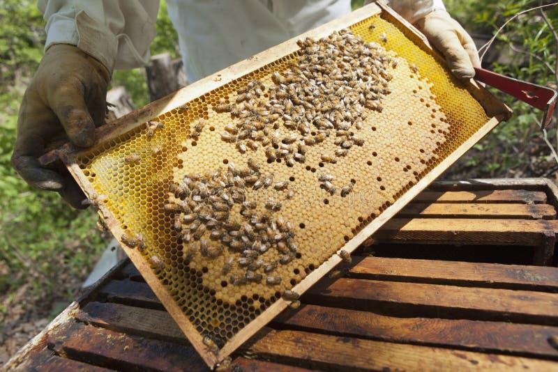 Apiculteur contrôlant le nid d'abeilles images stock