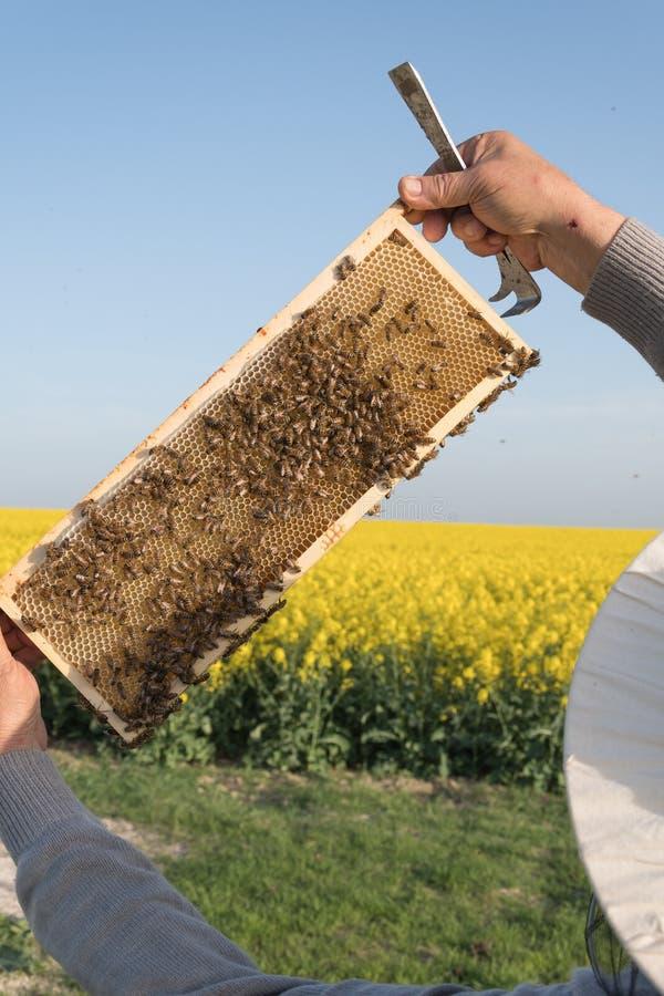 Apiculteur et abeilles dans la ruche photo libre de droits