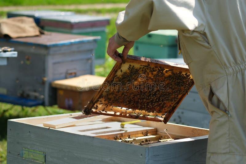 Apiculteur inspectant le cadre de nid d'abeilles au rucher au jour d'été Homme travaillant dans le rucher Apiculture Concept de l photos stock