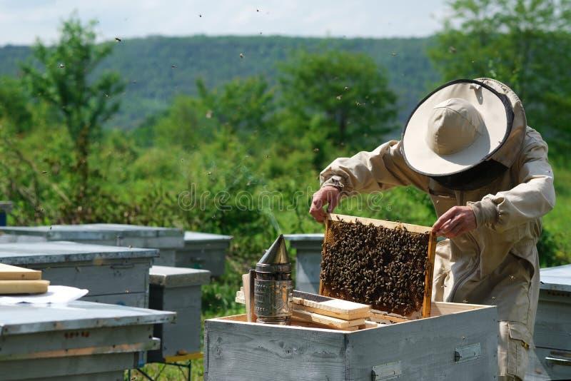 Apiculteur inspectant le cadre de nid d'abeilles au rucher au jour d'été Homme travaillant dans le rucher Apiculture Concept de l image libre de droits