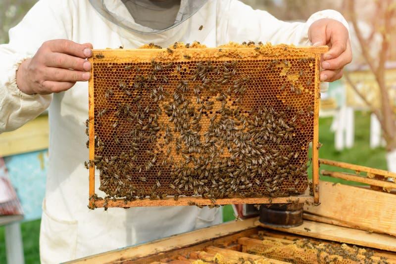 Apiculteur jugeant un nid d'abeilles plein des abeilles Apiculteur dans les vêtements de travail protecteurs inspectant le cadre  photo libre de droits