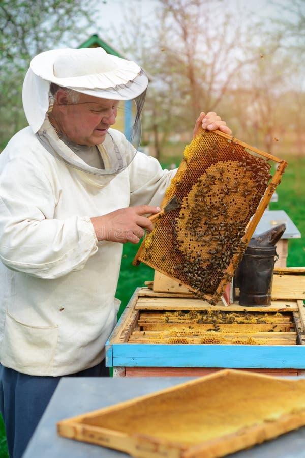 Apiculteur jugeant un nid d'abeilles plein des abeilles Apiculteur dans les vêtements de travail protecteurs inspectant le cadre  photo stock