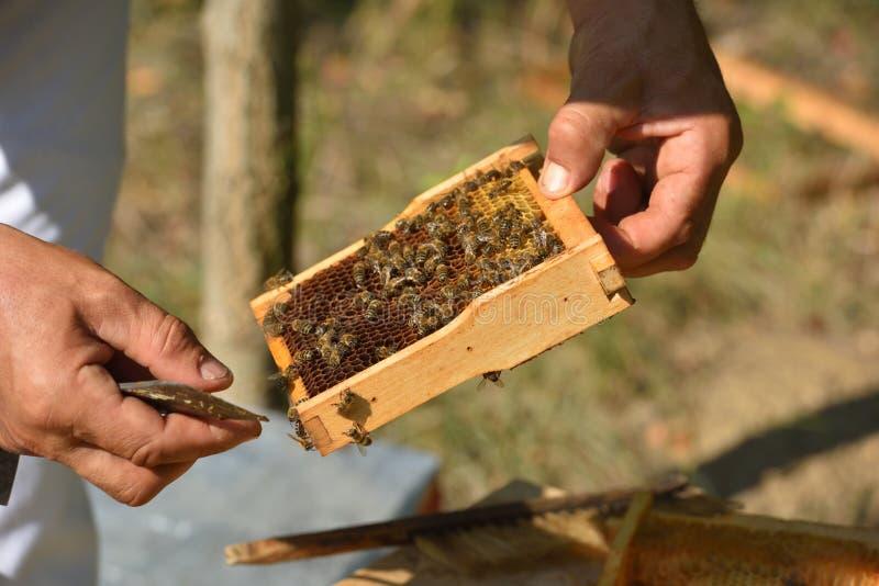 Apiculteur tenant le cadre du nid d'abeilles avec les abeilles de travail images libres de droits