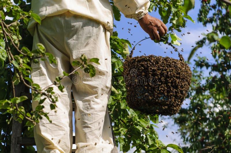 Apiculteur tenant un essaim d'abeille photo stock