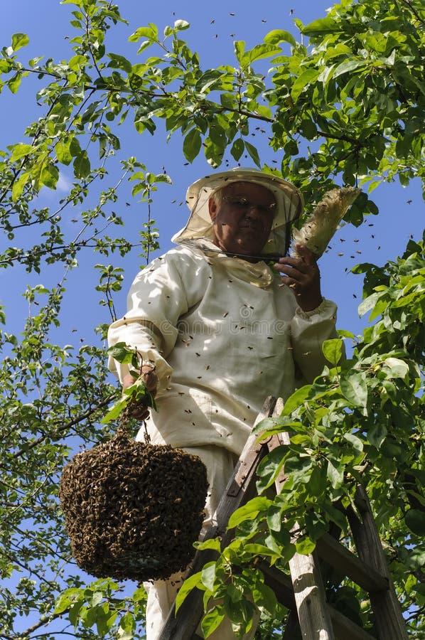 Apiculteur tenant un essaim d'abeille images libres de droits
