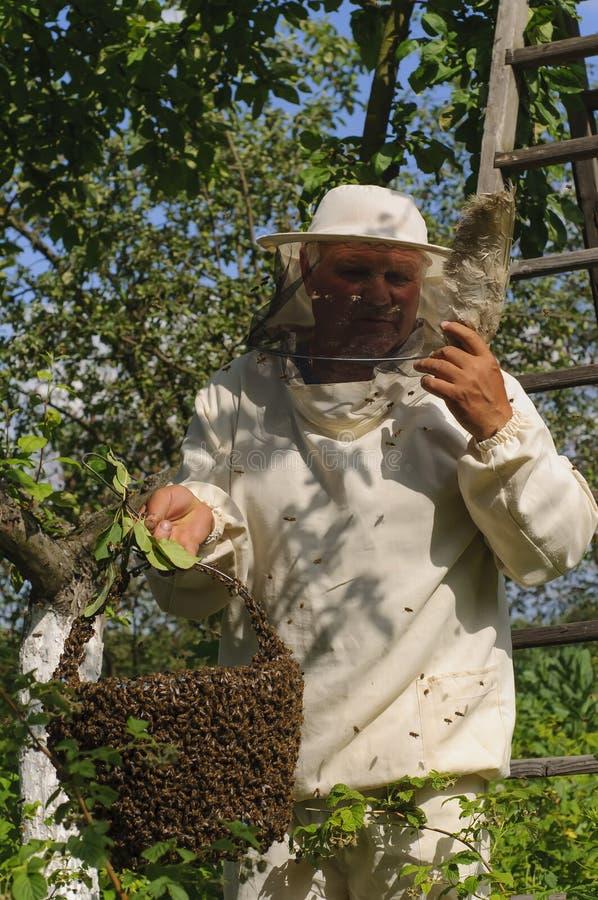 Apiculteur tenant un essaim d'abeille image libre de droits