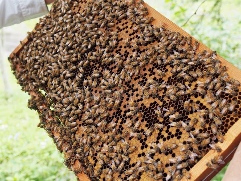 Apiculteur tenant un nid d'abeilles images libres de droits