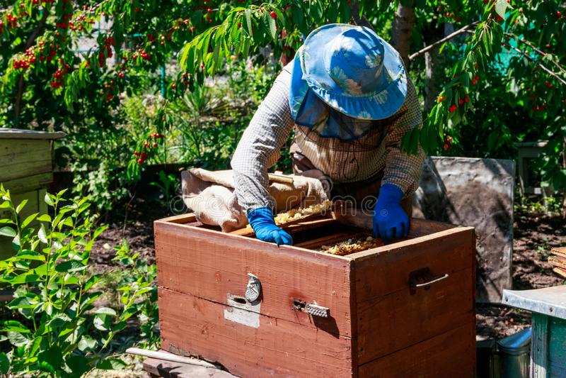 Apiculteur v?rifiant une ruche pour assurer la sant? de la colonie d'abeille ou rassemblant le miel photo libre de droits