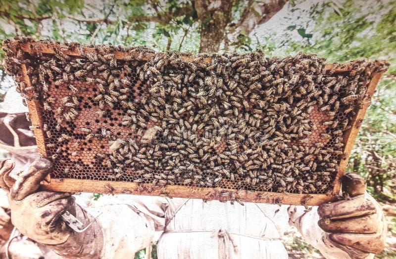 Apicultor que guarda o favo de mel com abelhas imagens de stock royalty free