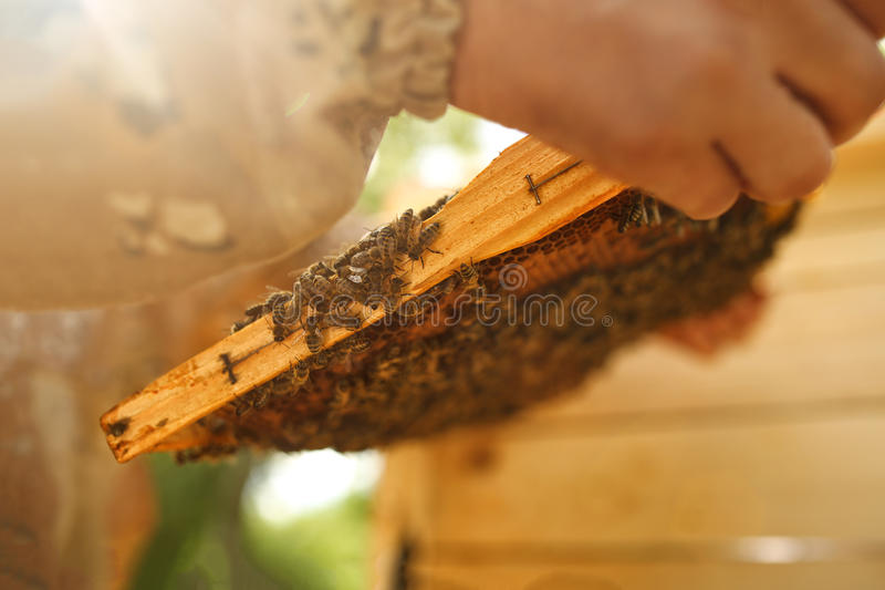 Apicultor que guarda o favo de mel com abelhas Apicultura honeybee foto de stock royalty free